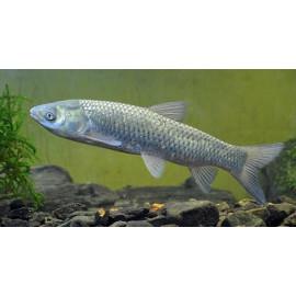 Ctenopharyngodon idella comealgas estanque