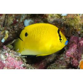 Apolemichthys trimaculatus S-M