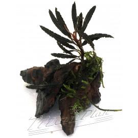Bucephalandra surtida en tronco