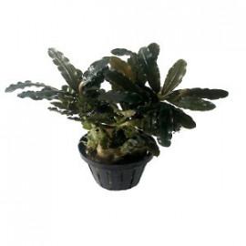 bucephalandra alamanda VI blue