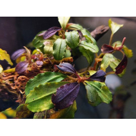 bucephalandra brownie metallica