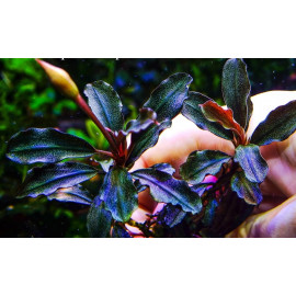 bucephalandra firebird