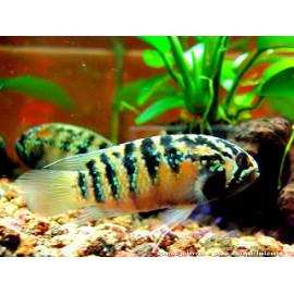Acara zebra Nannacara adoketa L