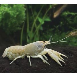 Langosta Blancanieves Procambarus alleni Charax pauciradiatus
