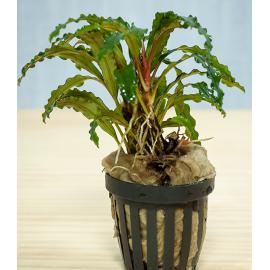 bucephalandra velvet leaf entikong