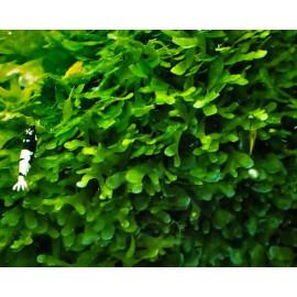 Monosolenium tenerum PELIA en tarrina