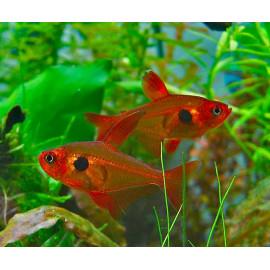Tetra fantasma Rojo Hyphessobrycon sweglesi