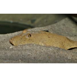 Pez Globo del congo Tetraodon Miurus