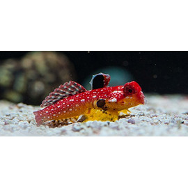 Dragon Flame Synchiropus sycorax Red Female