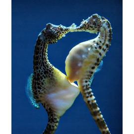 Hippocampus abdominalis XL Tank Breed
