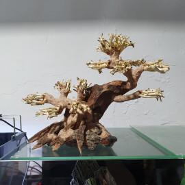 BONSAQUA, BONSAI MULTI TRONCO - BT43 - 20x25cm