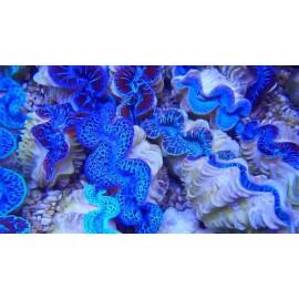 Tridacna Maxmia Ultra Blue Pacific M