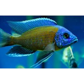 Haplochromis borleyi red XL