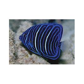 Pomacanthus annularis juvenil