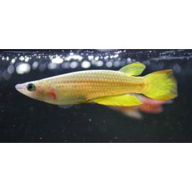 Pachax amarillo Aplocheilus lineatus