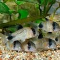 Siluriformes (corydoras y peces gato)