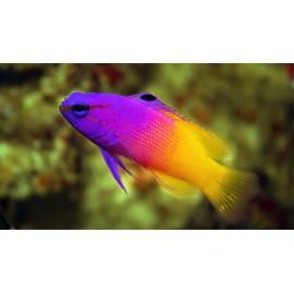 Pseudochromis