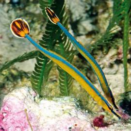 Caballitos de mar y peces aguja